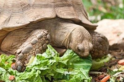Alimentacion de las Tortugas de tierra