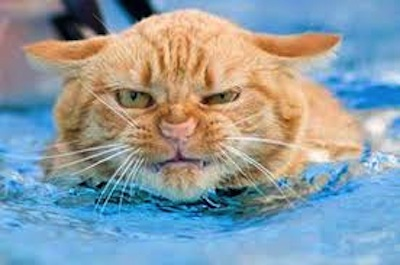Como controlar un Gato Agresivo