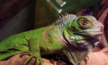 Consejos para alimentar Iguanas