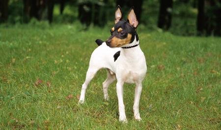 El Fox Terrier Toy
