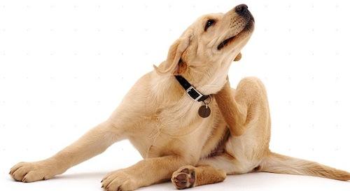 Enfermedades de Piel comunes en Mascotas