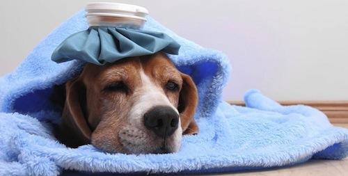 Infecciones Urinarias en los Perros