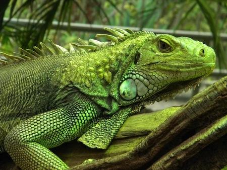 Las enfermedades más frecuentes en las Iguanas
