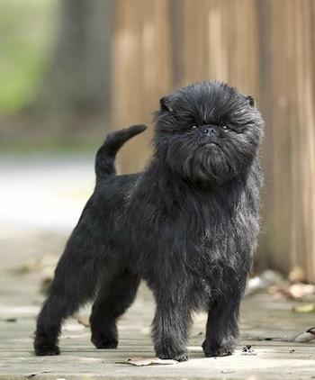Perro de raza Affenpinscher