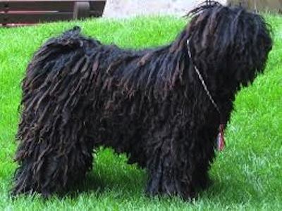 Salud y cuidados del perro de raza Puli