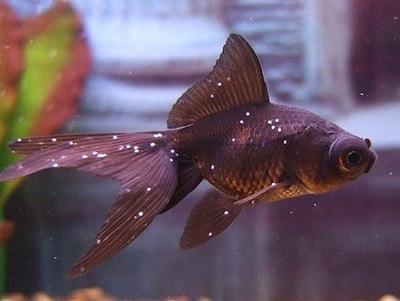 Tratamiento de los hongos en peces  Tratamiento de los  hongos en peces