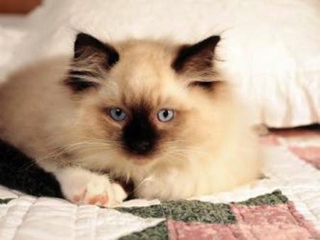 Las enfermedades genéticas de los Gatos