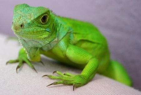Como cuidar una Iguana