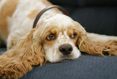 Cómo tratar la Otitis Canina