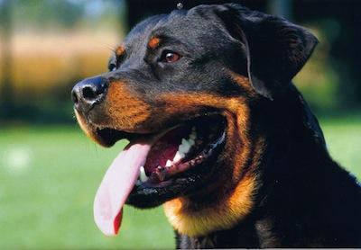 Cuidados y Salud del perro Rottweiller