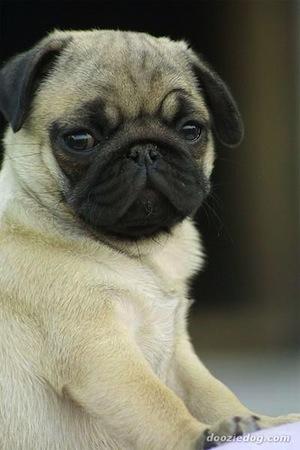 El Perro Carlino Pug y sus características