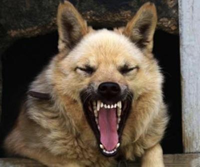 Etapas de la Rabia en Perros   Etapas de la Rabia en Perros