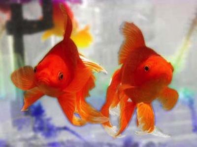 Los cuidados del pez Goldfish