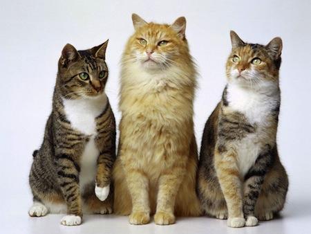 Parásitos externos del Gato