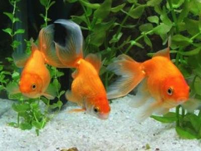 Alimentacion peces agua fria for Alimentacion para peces de agua fria
