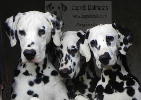 Personalidad del Perro Dalmata  Personalidad del Perro Dálmata
