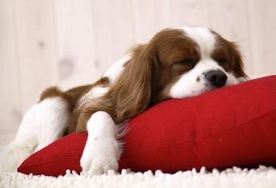 Proteger la salud del perro