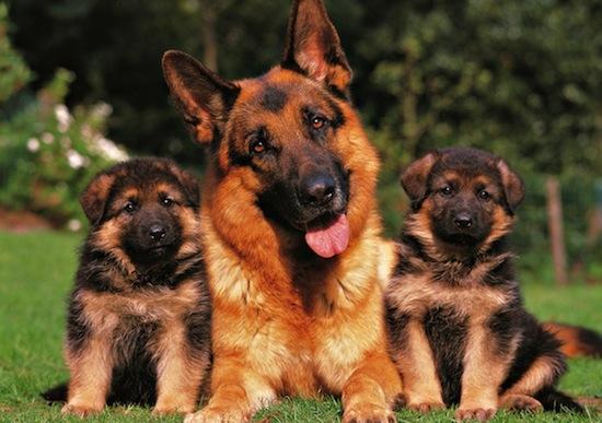 Razas de Perro Policía