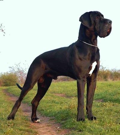 Temperamento del Perro Gran Danes  Temperamento del Perro Gran Danés