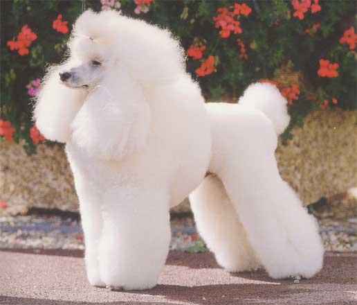 cortes-de-pelo-para-perros