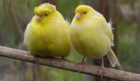 cuidados del canario