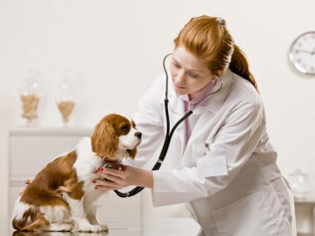 Cuidados en la castracion de los Perros  Cuidados en la castración de los Perros