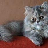 Cuidados y Carácter del Gato Persa