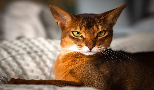 Gato Abisinio carácter y comportamiento