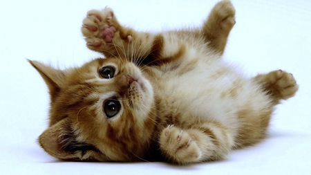 Razas de Gatos mas pequenas 2 Razas de Gatos mas pequeñas