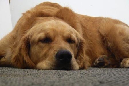 Sintomas de la vejez en Perros  Síntomas de la vejez en Perros