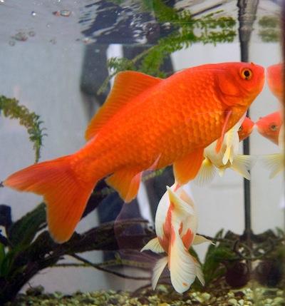 Tres tipos de peces para tu acuario for Peces de agua fria carassius