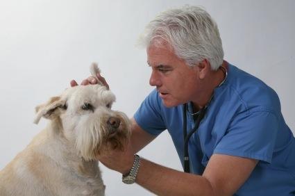 otitis en perros