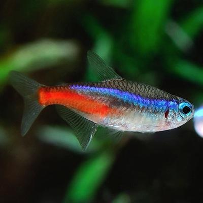 Tres tipos de peces para tu acuario for Peceras con peces