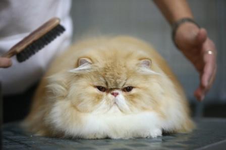 Caida de pelo en los Gatos  Caída de pelo en los Gatos