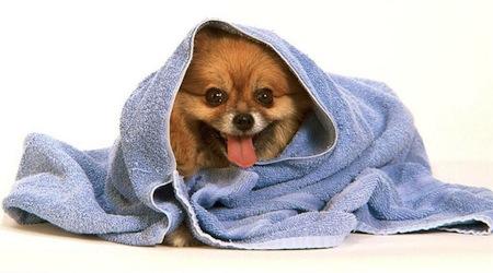 Como banar y secar al Perro  Cómo bañar y secar al Perro