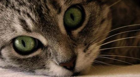 Como cuidar los ojos del Gato