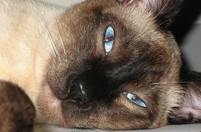 El Caracter del Gato Siames