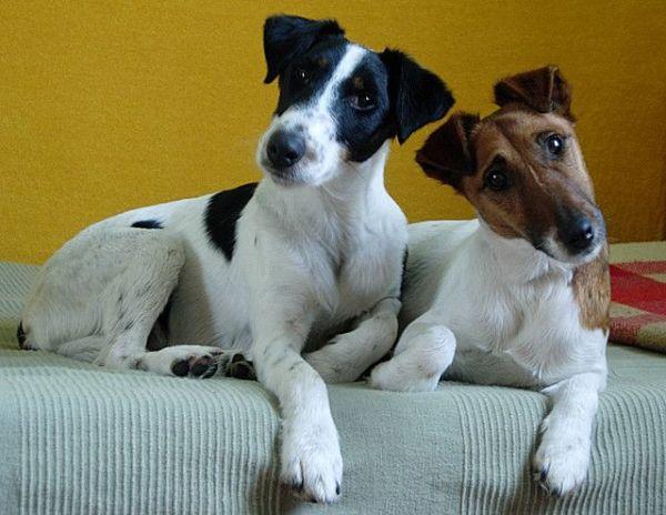 el-perro-fox-terrier-pelo-liso