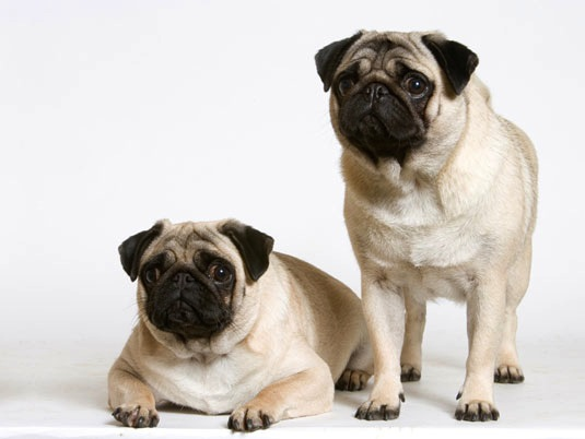 enfermedades-del-perro-de-raza-carlino