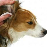 Higiene de los oídos del perro