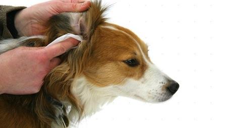 Higiene de los oidos del perro