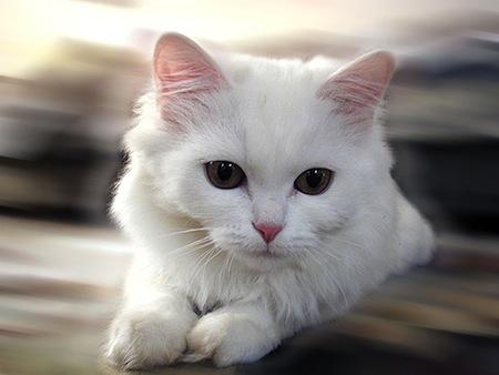 Los Gatos Blancos