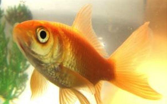 los-peces-dorados