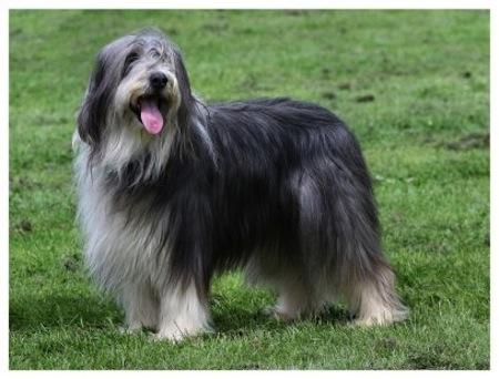 Perro de Raza Collie Barbudo
