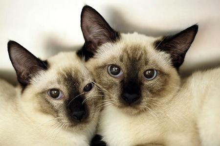 Caracter del gato Siames  Carácter del gato Siamés