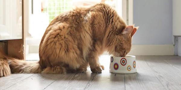 Cómo alimentar a un Gato Esterilizado
