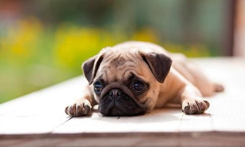 Cuidados del perro carlino o pug