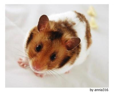el hamster