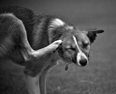 Enfermedades de las pulgas a las Mascotas