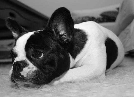 Enfermedades del Bulldog Francés